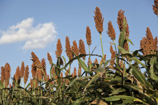 Pennsylvania sorghum grower sets record for yield