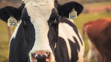 VT researchers: Removal of dairy cows would have minimal impact on greenhouse emissions