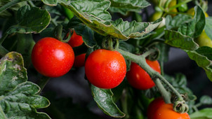 Georgia vegetable growers approve continued assessment