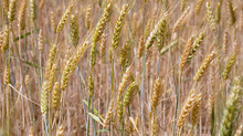 Winter wheat production increases in Virginia despite 'miserable' harvest conditions