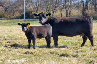 UT AgResearch to hold registered Angus cattle sale online