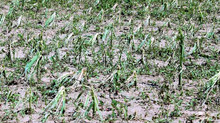 Spring storms damage crops on GA farms