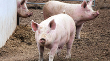Pandemic assistance available to livestock and poultry producers