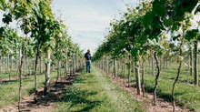 $1.5M gift will support grapevine research at Cornell AgriTech