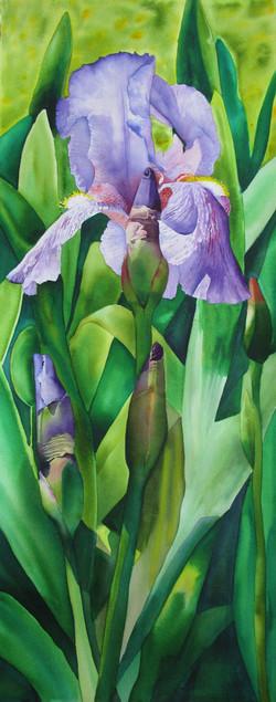Lake Kiowa Iris