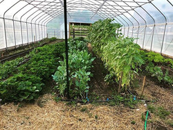 One of our high tunnels currently growing strawberries, broccoli, sunflowers and many varieties of l