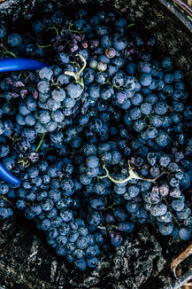 harvest_food_photographer_grapes