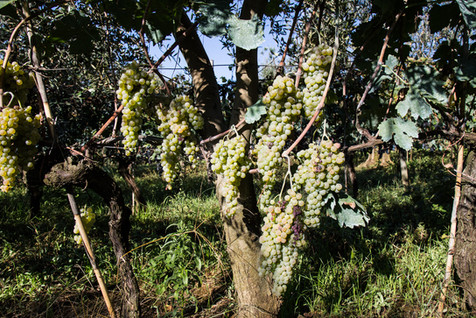 Harvest_food_photographer_white_grapes_Italy