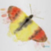 anthocharis euphenoides web.jpg