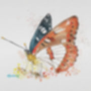 Limenitis reducta web.jpg