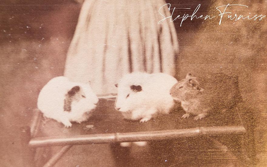 Pet Guinea Pig 1880
