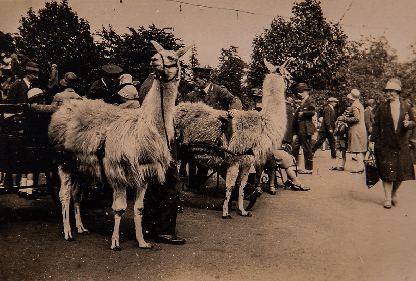 Lama Rides at the Zoo 1920's