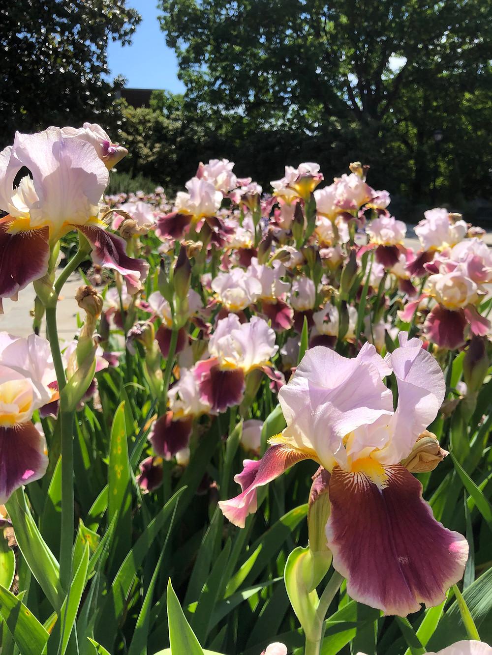Maroon and pink irises