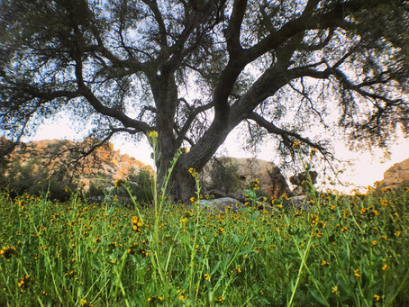 Adopt a Tree : Save our Ancient Oaks