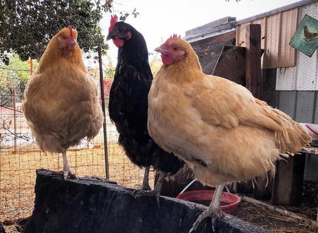 Meet our Ladies 🐓