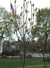 Yelow+Magnolia.jpg