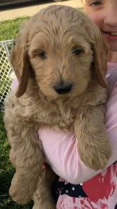Who wants a Goldendoodle?