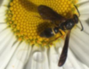 ancistrocerus-unifasciatus-mason-wasp -1