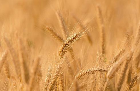 wheat-3241114_1920_edited.jpg