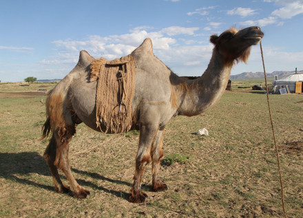 Making a saddle for the Bactrian camel I sheared using its own wool