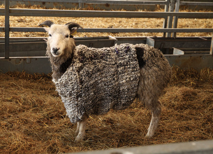 Knitting the woolen jumper for the sheep I sheared