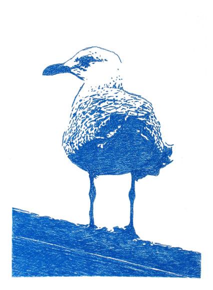 Blue Herring Gull
