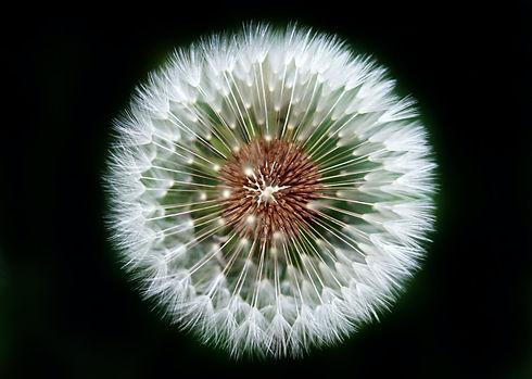 Dandelion flower zoomed in