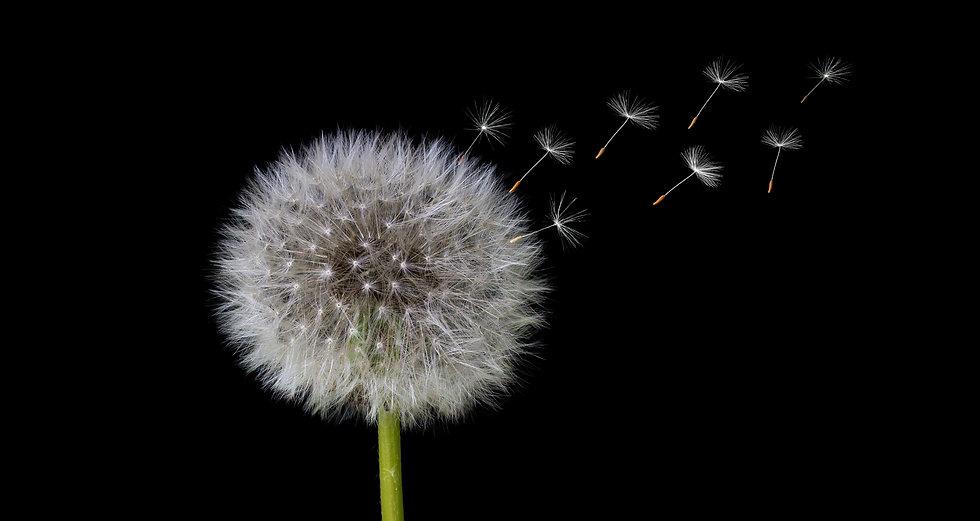 Dandelion spreading