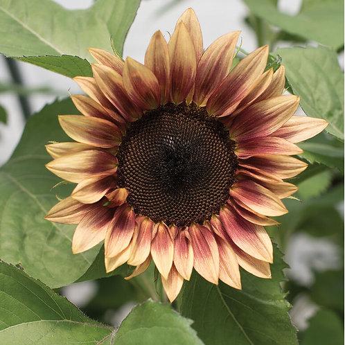 Pro-Cut Mix- Sunflower