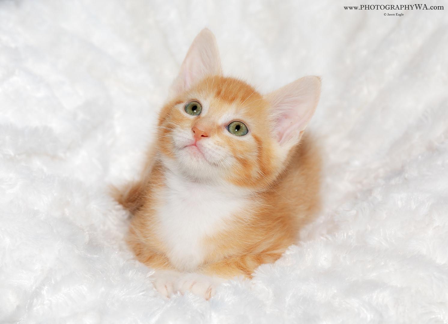 Kitten Comfy