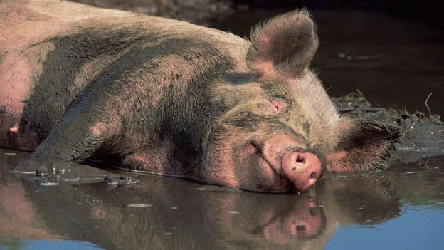 Happy Pig in the Mud
