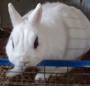 white rabbit with dark eyes sitting in a cage