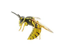 bee pest control service corona