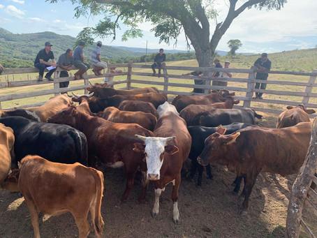 Ação Coordenada da polícia e Inspetoria Veterinária recupera vacas e prende suspeito por receptação