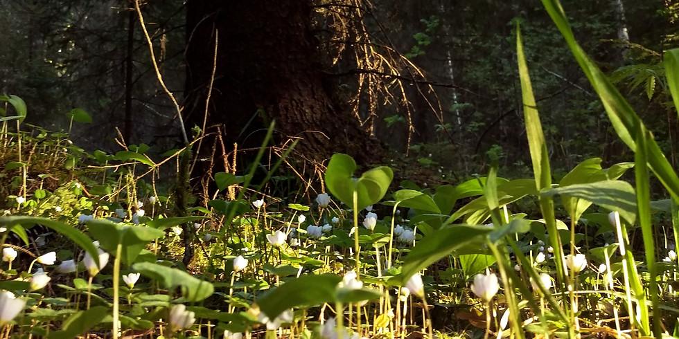 Toukokuun Metsäkylpy