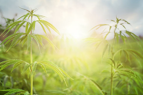 Marijuana-Field-with-sun.-Marijuana-leav