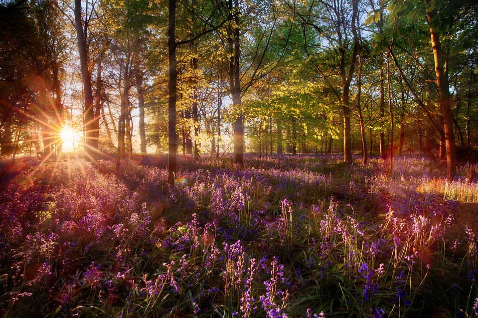 Dawn-light-shines-through-bluebell-fores
