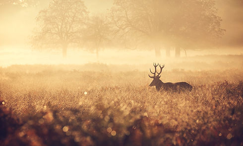 Red-Deer-Stag-in-the-golden-mist-4807186