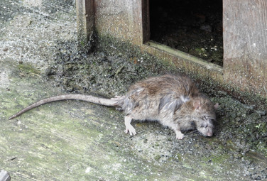 St Katherine's Rat - The End of the Roadsmall.jpg