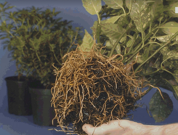AvaFlakes healthy roots