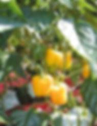 Avaflakes-hydroponic-growing-medium-heal