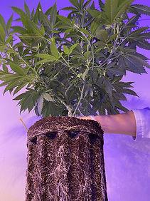 avagrow-healthy-plant.jpg