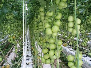 avagrow-tomatoes.jpg