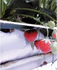 AVAFlakes-strawberries-jpg.jpg