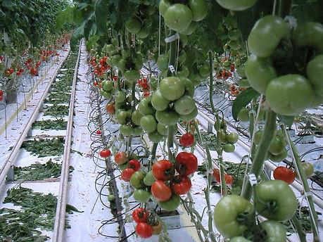 Avaponix-Tomatoes.jpg