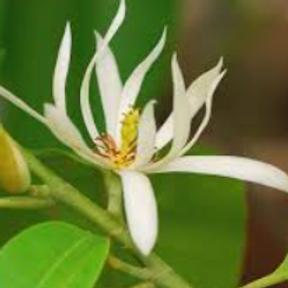 Magnolia (hearts)