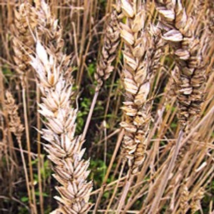 Wheat Bran