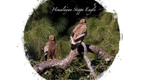 Hiamlayan Steppe Eagle.