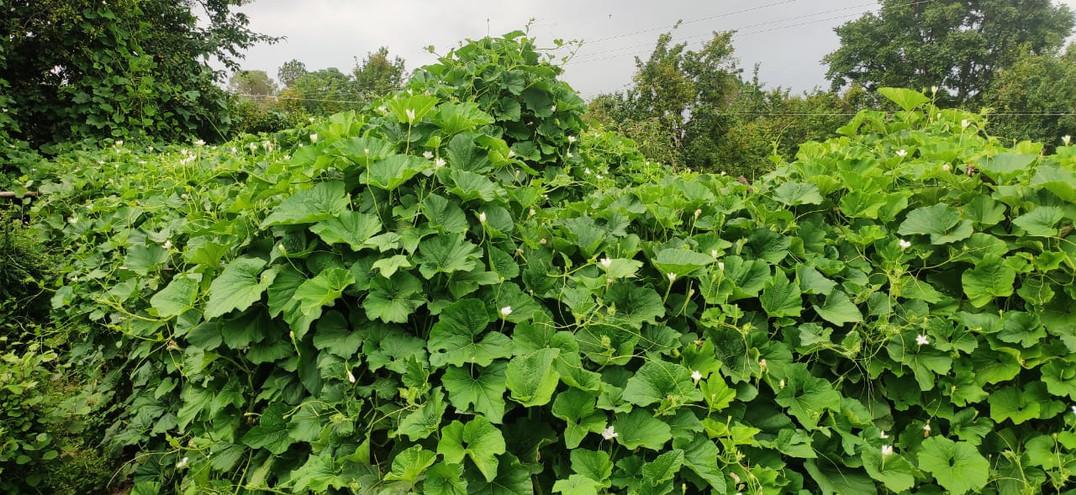 Bottle Gourd - Lagenaria siceraria