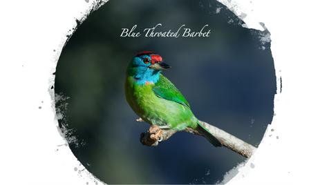 Blue Throated Barbet.